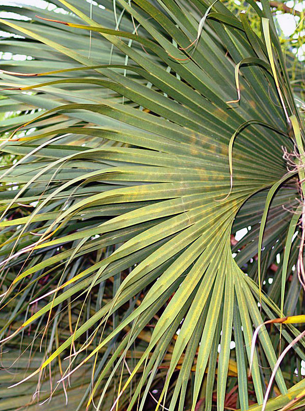 sabal palmetto identifying commonly cultivated palms