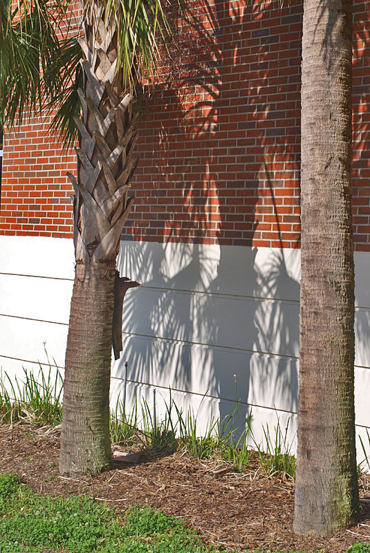 <p><em>Sabal palmetto </em>stems with and without old leaf bases</p>