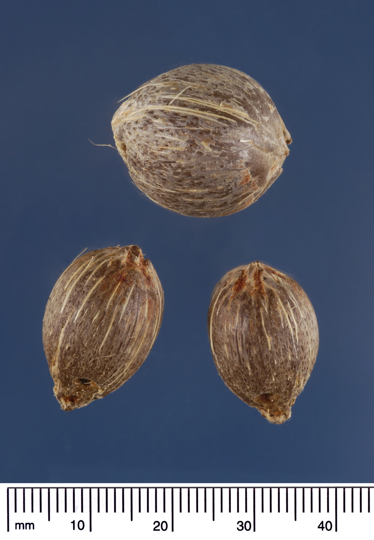 <p><em>Syagrus romanzoffiana</em> seeds. Photograph courtesy of Mariana P. Beckman, DPI</p>