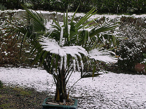 <p><em>Trachycarpus fortunei</em> in snow. Photograph courtesy of Peter Clarke, wikimedia.</p>