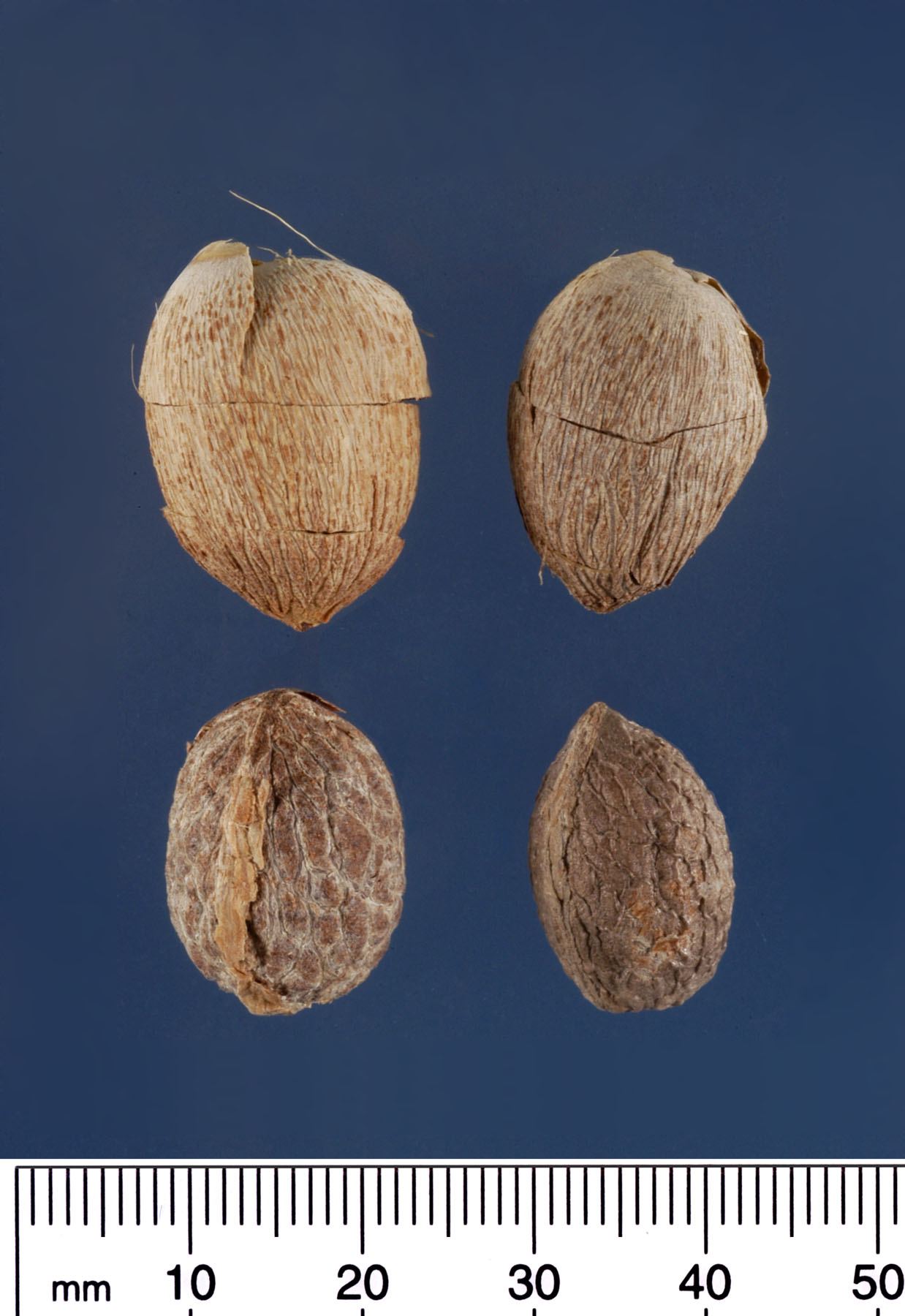 <p><em>Adonidia merrillii </em>seeds (mm scale). Photograph courtesy of Mariana P. Beckman, DPI</p>