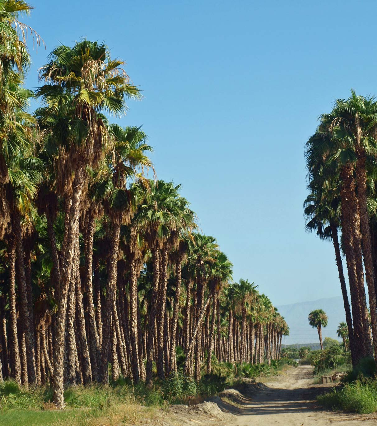 washingtonia filifera identifying commonly cultivated palms. Black Bedroom Furniture Sets. Home Design Ideas