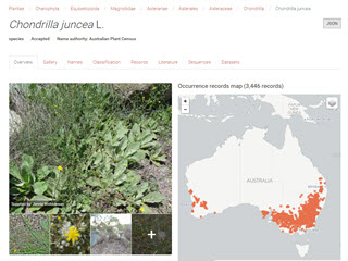 Atlas of Living Australia: Chrondrilla juncea