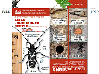 Check Your Trees for the Asian Longhorned Beetle Handout