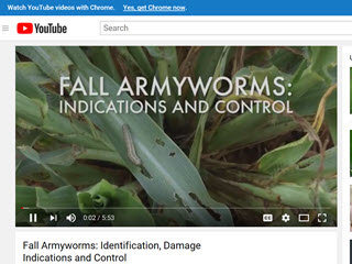 Fall Armyworms: Identification, Damage Indications and Control