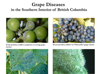 Grape Diseases in the Southern Interior of British Columbia
