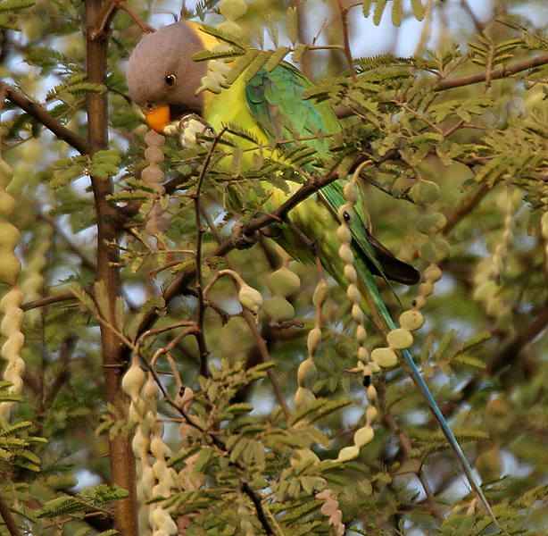 plum-headed parakeet feeding on A. nilotica ssp. cupressiformis; photo: © J. M. Garg http://en.wikipedia.org/wiki/User:Jmgarg1