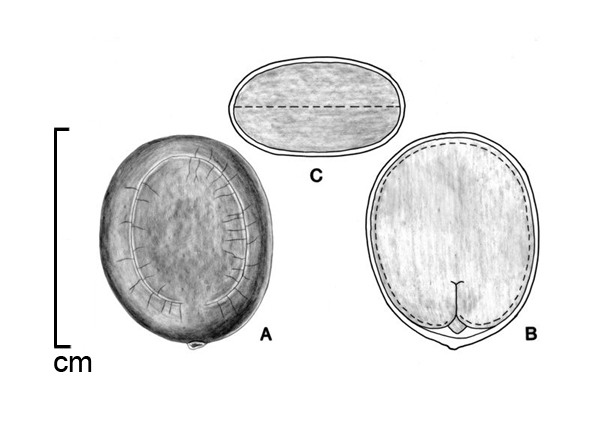 A, seed; B, embryo in situ; C, transection of seed; drawing by Lynda E. Chandler