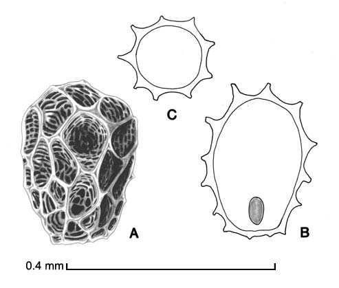 <em><strong>Aeginetia indica</strong></em><em>.</em> A, seed; B, longitudinal section of seed showing embryo; C, transection of seed; drawing by Lynda E. Chandler