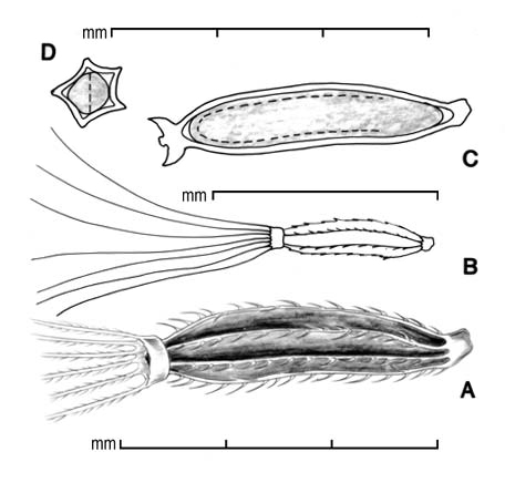 A, achene; B, outline showing entire pappus; C, longitudinal section showing embryo; D, transection; drawing by Lynda E. Chandler