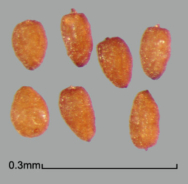 Alectra arvensis seeds without testa envelope