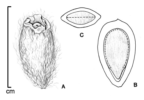 A, fruit; B, embryo in situ; C, transection of fruit; drawing by Lynda E. Chandler