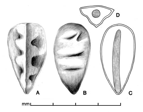 A–B, seed in two views; C, longitudinal section of seed showing embryo; D, transection of seed; drawing by Lynda E. Chandler