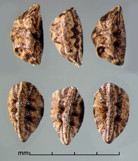 lateral view (top) and ventral view (bottom) of seeds
