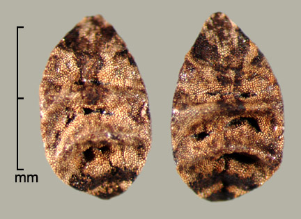 dorsal view of seeds