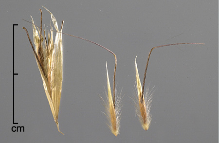 spikelet (left) and two florets