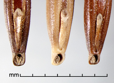 ventral view of florets showing basal scars
