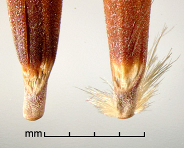 dorsal view of primary floret bases