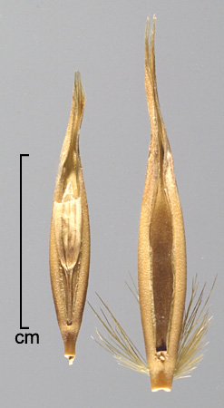 secondary florets in ventral view