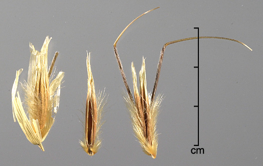 spikelet (left), floret (middle), attached pair of florets (right)