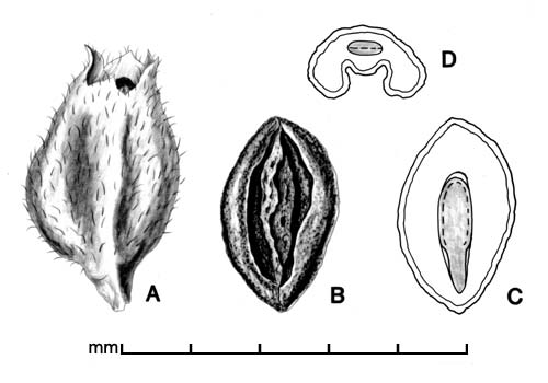 A, fruit; B, seed; C, longitudinal section of seed showing embryo; D, transection of seed; drawing by Lynda E. Chandler