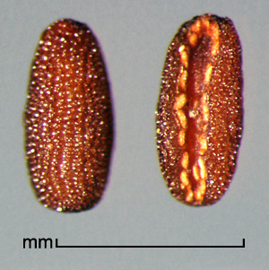 seed in dorsal and ventral view