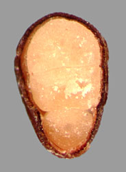 transverse section of seed showing embryo