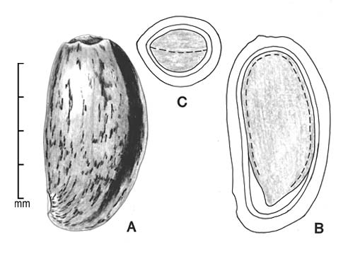 A, achene; B, longitudinal section of achene showing embryo in situ; C, transection of achene; drawing by Lynda E. Chandler