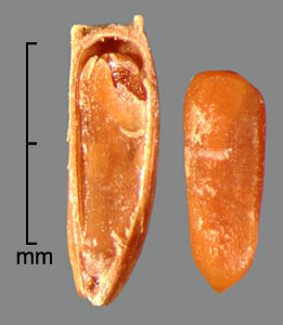 longitudinal section of achene showing embryo (left) and naked embryo (right)