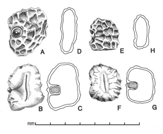 A, subterranean seed showing embryotega; B, subterranean seed showing hilum; C, subterranean seed longitudinal section showing embryo, D, subterranean seed longitudinal section; E, aerial seed; F, aerial seed showing hilum, G, aerial seed longitudinal section showing embryo; H, aerial seed longitudinal section; drawing by Lynda E. Chandler