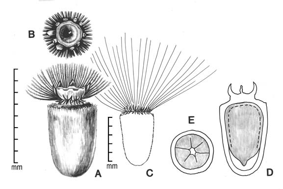 A, achene; B, detail of apex; C, achene outline showing entire pappus; D, longitudinal section of achene showing embryo in situ; E, transection of achene; drawing by Lynda E. Chandler