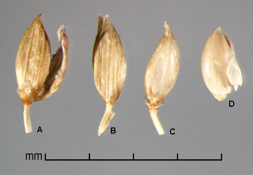 A, spikelet in ventral view showing lower glume and sterile lemma; B, spikelet in dorsal view showing upper glume; C, floret in ventral view showing palea and margins of lemma; D, floret in dorsal view showing lemma