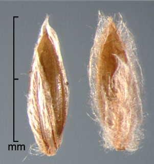 spikelets in dorsal view showing upper glume and fertile lemma