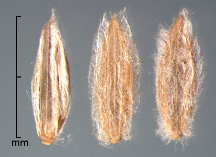 spikelets in ventral view showing sterile lemma