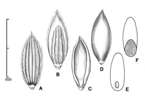 A, spikelet in ventral view showing sterile lemma; B, spikelet in dorsal view showing upper glume and fertile lemma; C, floret in ventral view showing palea and margins of lemma; D, floret in dorsal view showing lemma; E, caryopsis in ventral view; F, caryopsis in dorsal view; drawing by Lynda E. Chandler