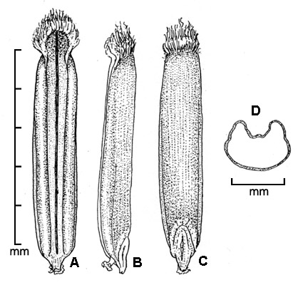 caryopsis. A, ventral view; B, lateral view; C, dorsal view; D, transverse section; drawing by Regina O. Hughes