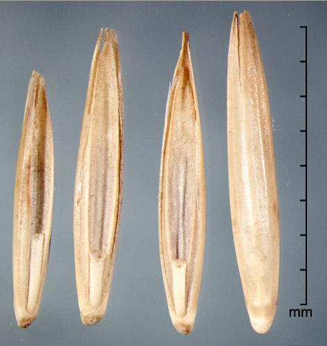 florets in ventral view (left) and dorsal view (far right)