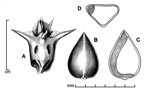 A, fruit with persistent floral parts; B, fruit with floral parts removed; C, longitudinal section of fruit showing embryo; D, transection of fruit; drawing by Lynda E. Chandler