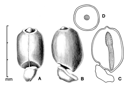 A–B, seed in two views; C, embryo in situ; D, transection of seed; drawing by Lynda E. Chandler