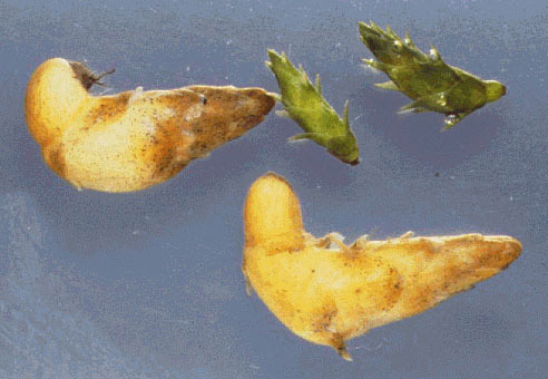 tubers and turions; photo: John Clayton © National Institute of Water & Atmospheric Research, New Zealand (NIWA)