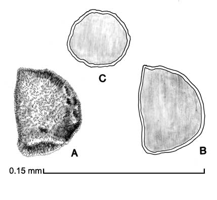 A, seed; B, longitudinal section of seed; C, transverse section of seed; drawing by Lynda E. Chandler