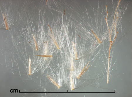 spikelets and portion of inflorescence axis (right)