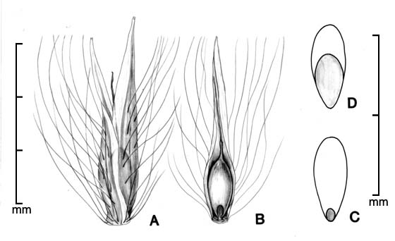 A, spikelet; B, spikelet with bracts removed to show caryopsis; C, caryopsis in ventral view; D, caryopsis in dorsal view; drawing by Lynda E. Chandler