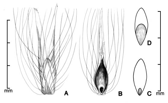 A, spikelet; B, spikelet with bracts removed to show caryopsis; C, caryopsis in dorsal view; D, caryopsis in ventral view;drawing by Lynda E. Chandler