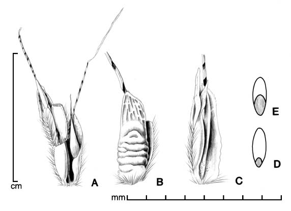 A, portion of inflorescence; B–C, spikelet in two views; D, caryopsis in dorsal view; E, caryopsis in ventral view; drawing by Lynda E. Chandler