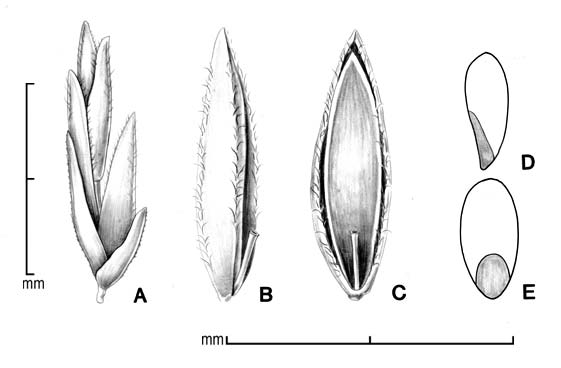 A, spikelet; B, floret in side view; C, floret in ventral view; D, caryopsis in side view; E, caryopsis in dorsal view; drawing by Lynda E. Chandler