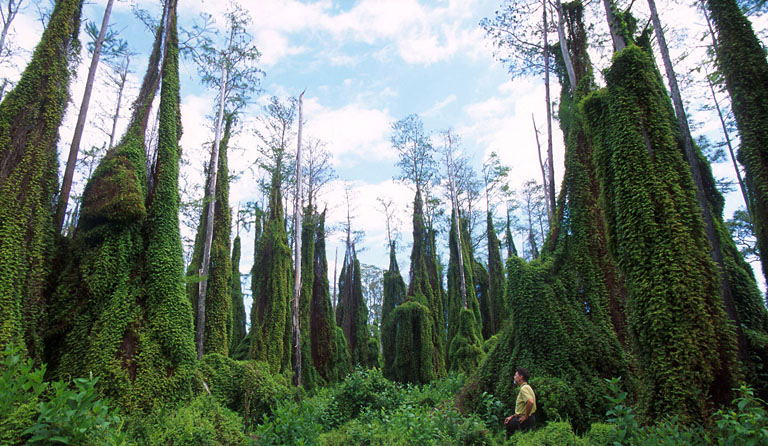 fern overtaking cypress trees in southern Florida; photo: Peggy Greb, USDA ARS, Bugwood.org