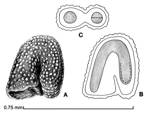 A, seed; B, longitudinal section of seed showing embryo; C, transection of seed drawing by Lynda E. Chandler