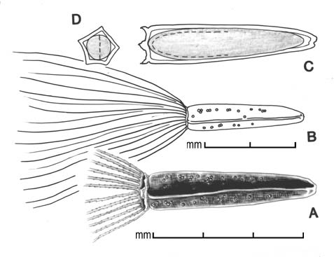 A, achene; B, achene outline showing entire pappus; C, longitudinal section showing embryo; D, transection of achene; drawing by Lynda E. Chandler