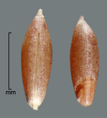 two marginal views showing hilum and embryo